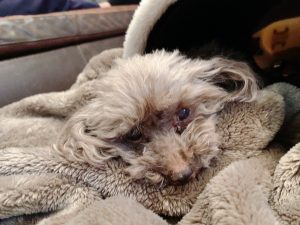 衰弱する愛犬ロザリー